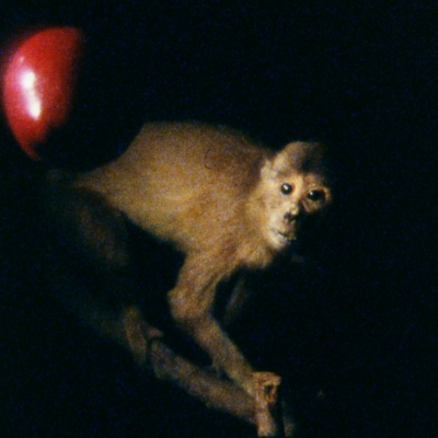 """João Maria Gusmão, Pedro Paiva, """"Darwin's Apple, Newton's Monkey"""", 2012, film 16mm, collection of  Muzeum Sztuki, Łódź: Horizontal photo. In the center, on a black background, there is a capuchin monkey facing to the right. With all limbs, it holds the branches underneath. It looks up to the left at a falling red apple. Contrasting white light comes from the top left corner of the work."""